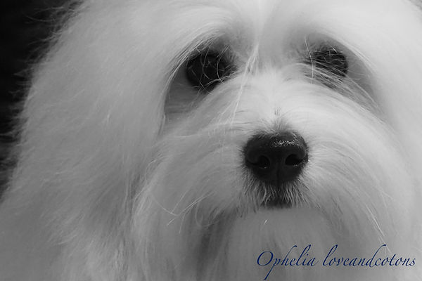 Ophelia   coton de tulear   allevamento   loveandcotons   lombardia   Italia   cuccioli