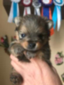 cucciolo Poimerania Maschio 2019_modific