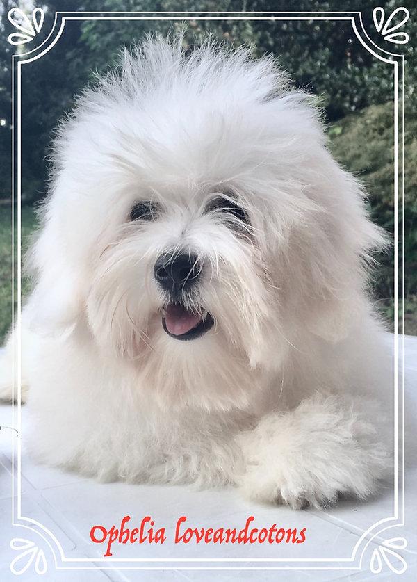 Ophelia loveandcotons | coton de tulear | allevamento | loveandcotons | lombardia | Italia | cuccioli