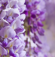 Purple wisteria flowers in spring.jpg