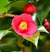 Camellia / Red.jpg