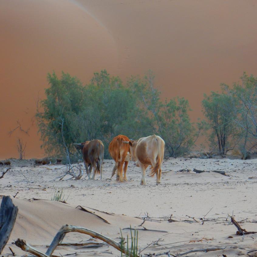 Cows grazing in the Namib desert (photographed near Goabeb Research Center, Namibia) Image by Akhila Kovvuri '18