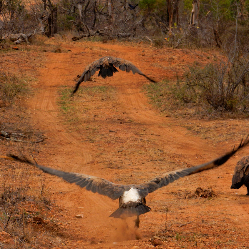 Vultures at a lion kill in Timbavati, South Africa. Image by Akhila Kovvuri '18