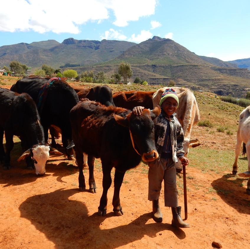 One of my biggest lessons learned: Cows are VERY adaptable! Here is a young cow-herder in the mountains of Lesotho. Image by Akhila Kovvuri '18