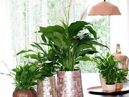 Plantas da sorte – Quais são? Como cuidar?