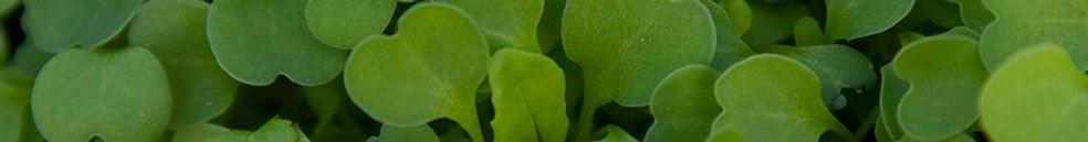 Organic Micro, Organic Greens, Organic Herbs, living, raw food, certified organic, lettuce Ontario, herbs Ontario, greens Ontario,Micros Ontario,Organic Canada, Strathroy, Ontario