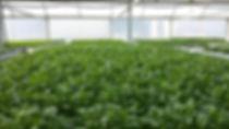 Organic greenhouse, lettuce Ontario, Herbs Ontario, Greens Ontario, Micro Ontario,South Western Ontario, Ontario, Organic Canda, Organic Ontario, Certified Organic, Raw food, living,