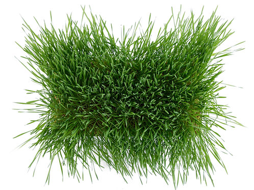 Wheat Grass (Flat)