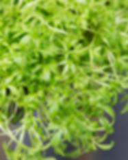 peppercress.jpg