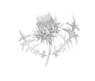 White Thistle.png