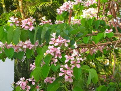 arbre orchidée du pauvre.JPG