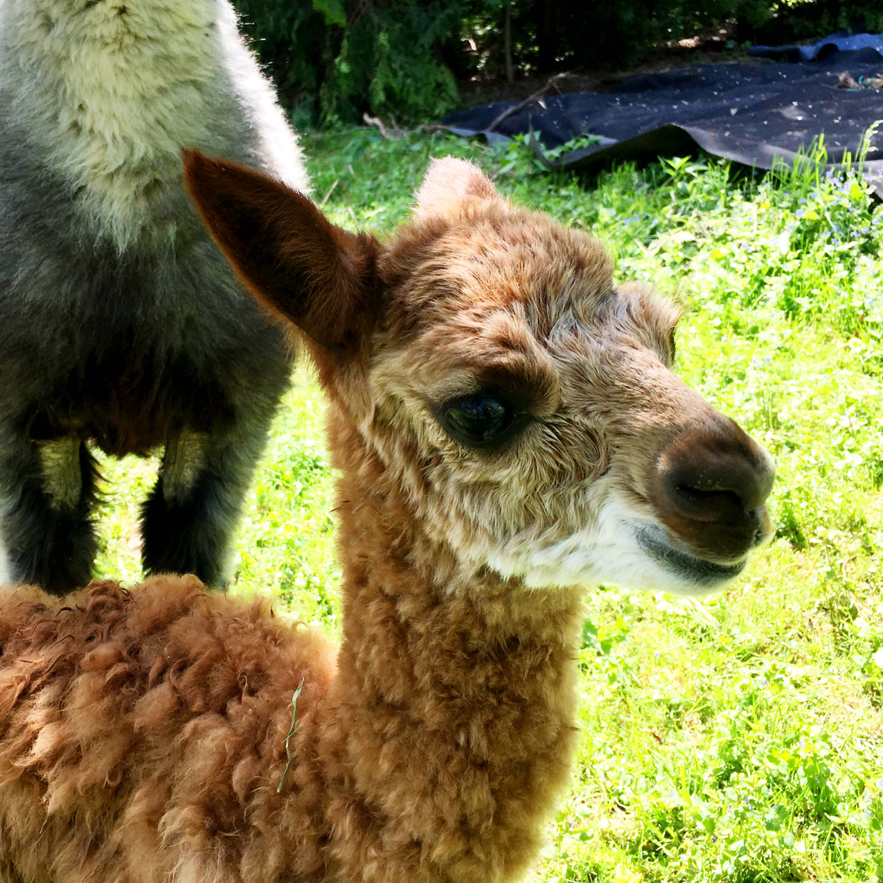 cria valley alpacas
