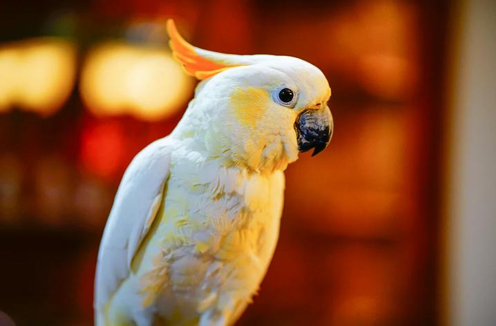 Citron Cockatoo, Cockatoo, Parrot, Oregon parrot, Pet adoption