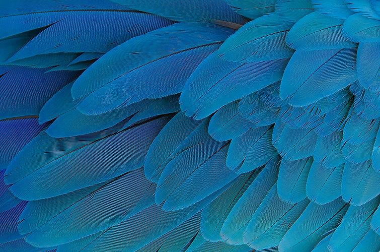 blue-parrot-feathers-cora-rosenhaft.jpg