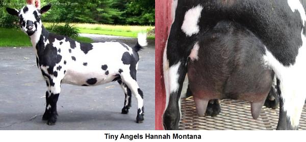Jovial Acres Tiny Angels Hannah Montana