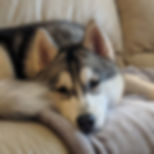 siberian husky dog on couch