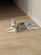 grey dakine Siberian Husky dog