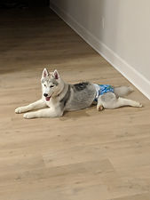 grey dakine Siberian Husky dog