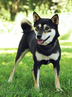 black tan shiba dog