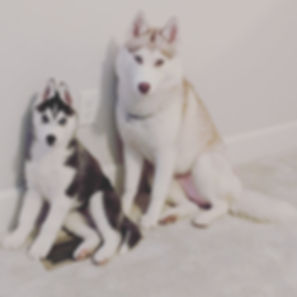 Anka and Vasily Siberian Huskies