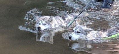 Siberian Husky dogs swimming