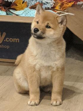shiba inu breeder with puppies