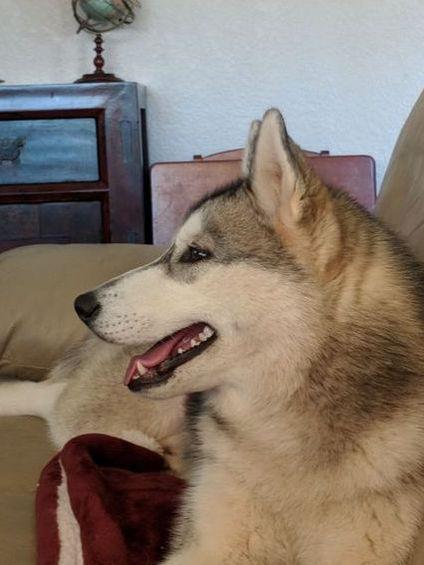 Grey Siberian Husky Dakine