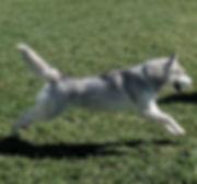 Grey Siberin Husky running,dog ,husky dog