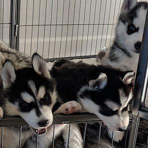 black siberan husky pups for sale