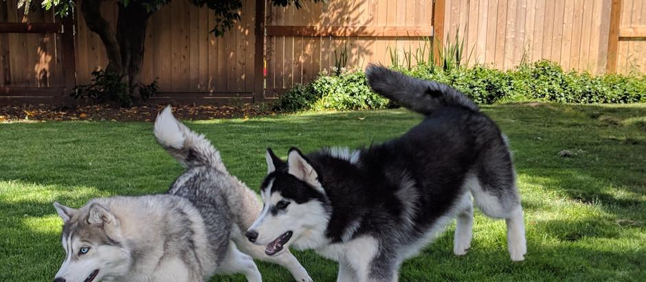 Recall Training and the Siberian Husky