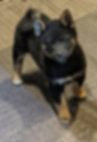 shiba inu puppy in oregon