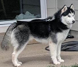 Black AKC Siberian Husky Dakine Huskies