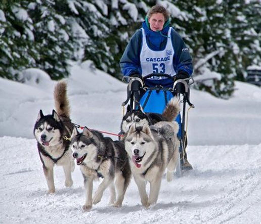 Dakine Sibeirian Huskies pullig a sled
