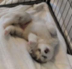 grey siberian husky puppy