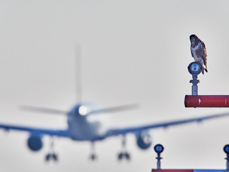 Ein Greifvogel hat sein Revier direkt in der Einflugschneise am Frankfurter Flughafen.