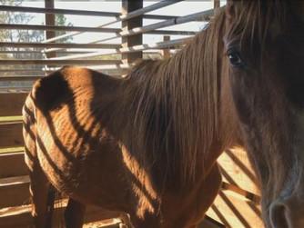 Seized Horses Situation Improving