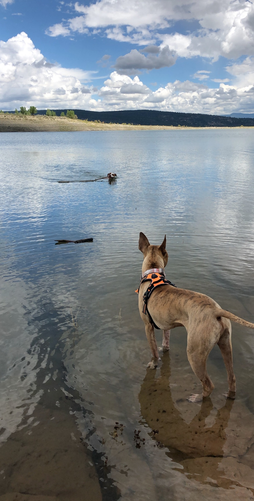 Dogs swimming in Heron Lake State Park