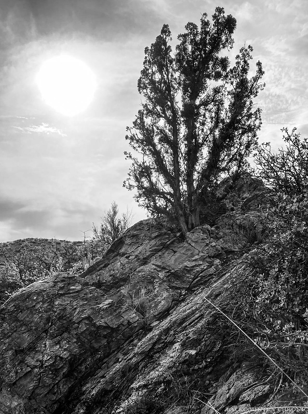 Juniper tree on hiking trail in the Albuquerque foothills