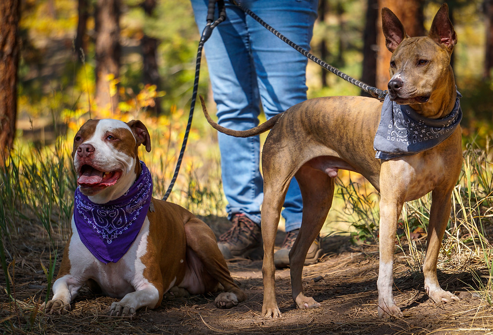 Two hiker dogs on the trail