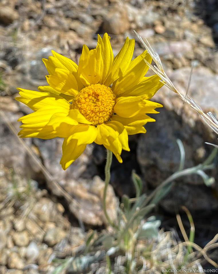 yellow wildflower in Albuquerque