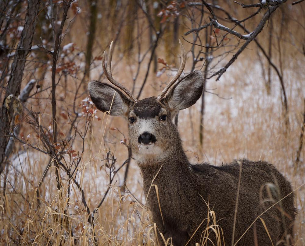 Mule deer buck in Colorado Springs