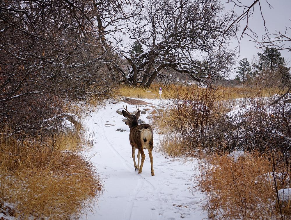 Mule deer buck on the hiking trail