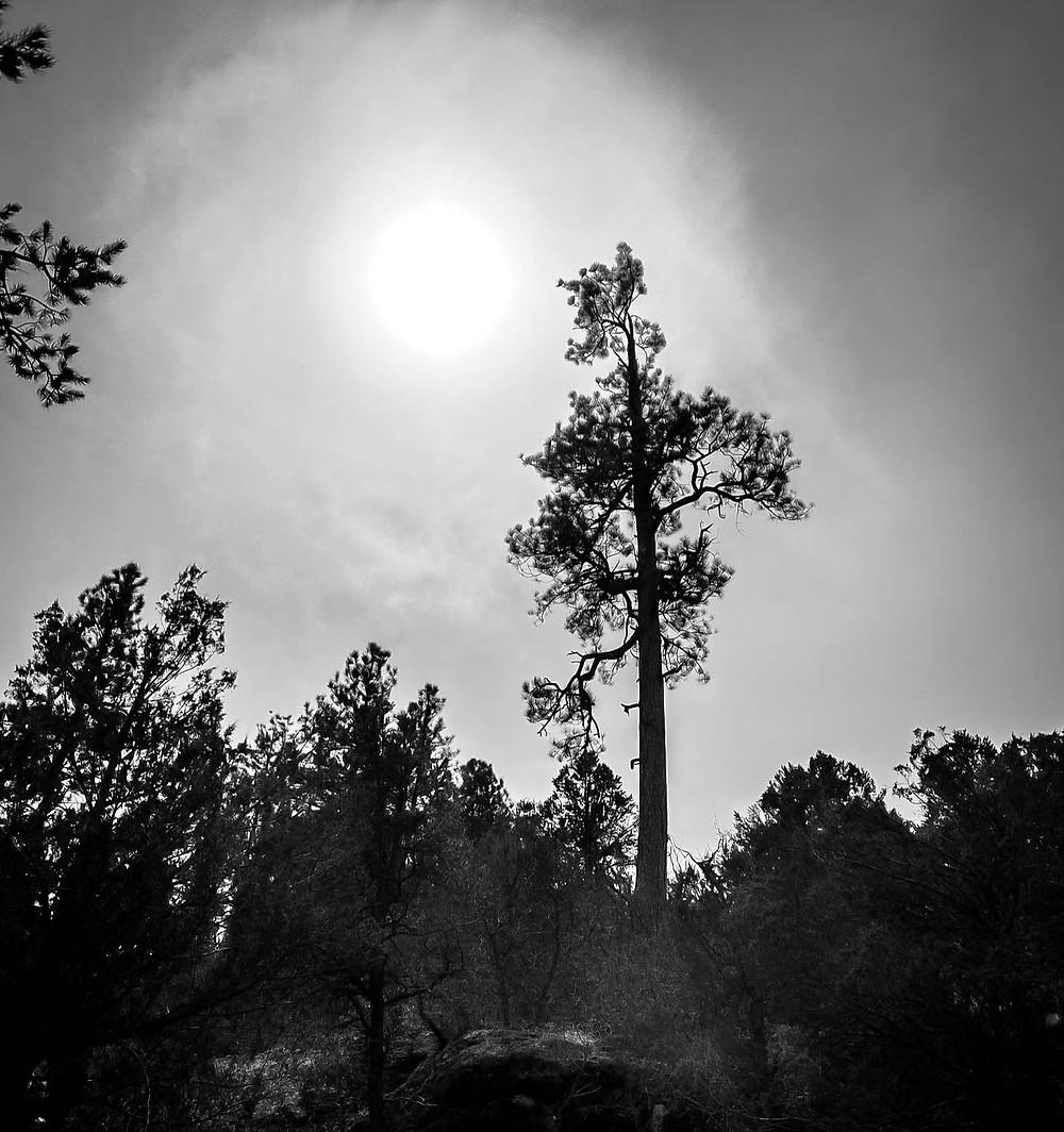 Black and white sun and pine tree