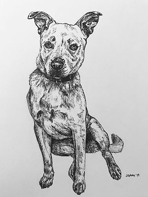 Cattle Dog Pen and Ink Drawing