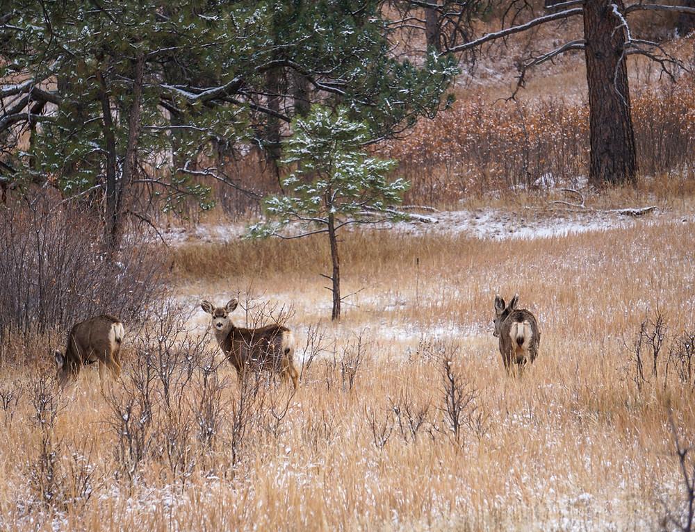 Mule deer at Cheyenne Mountain State Park