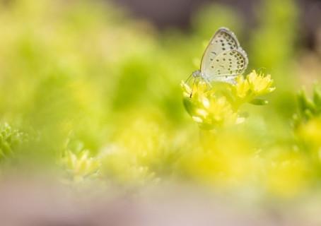七十二候 菜虫化蝶