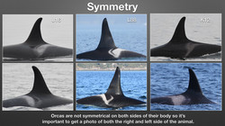 How to Identify Orcas_Page_4