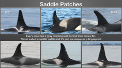 How to Identify Orcas_Page_3