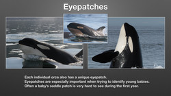 How to Identify Orcas_Page_6