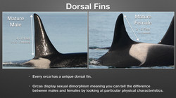 How to Identify Orcas_Page_2